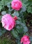Månadens garn augusti 2012 har trädgårdsfavoriten Leonardo da Vinci som förebild.